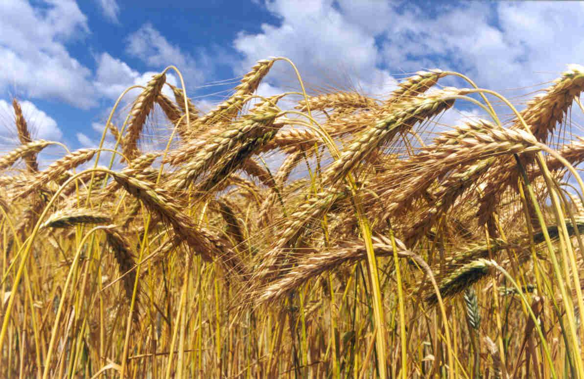 le blé tendre, aussi appelé froment est moulu en farine et principalement utilisé pour la fabrication du pain et des biscuits. La farine de blé tendre est dite panifiable, c'est à dire qu'elle contient du gluten.